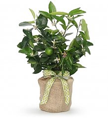 Home Decor: Persian Lime Tree